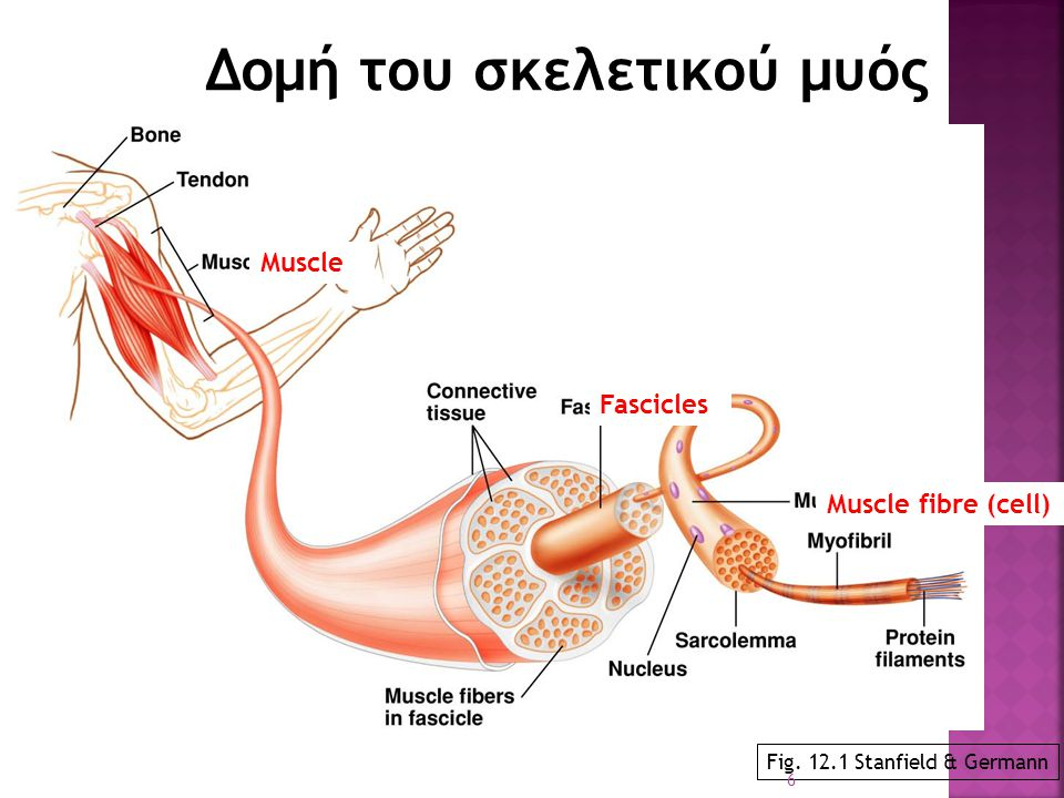 Δομή του σκελετικού μυός Fig. 12.1 Stanfield & Germann Fascicles Muscle fibre (cell) Muscle 6