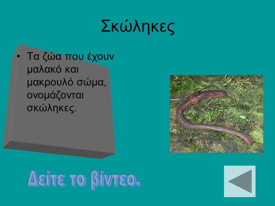 Εχινόδερμα Τα εχινόδερμα ζουν αποκλειστικά στο νερό. Το σώμα τους αποτελείτε από πέντε όμοια μέρη και καλύπτονται από πλάκες ή σκληρές βελόνες.
