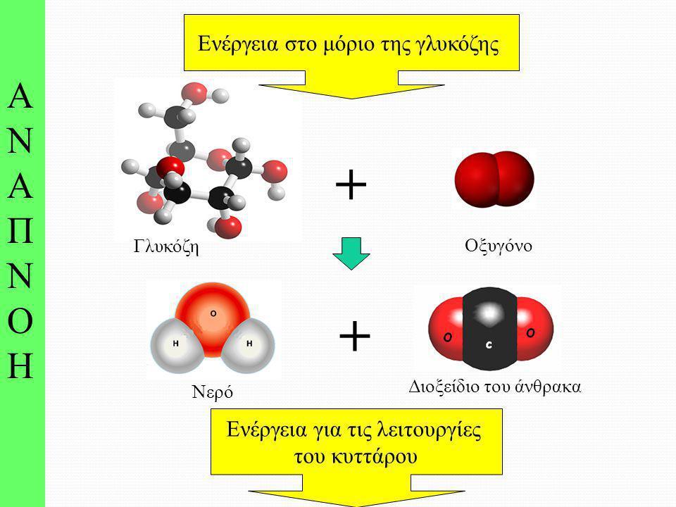 Νερό Διοξείδιο του άνθρακα + ΑΝΑΠΝΟΗ ΑΝΑΠΝΟΗ Ενέργεια για τις λειτουργίες του κυττάρου Γλυκόζη + Οξυγόνο Ενέργεια στο μόριο της γλυκόζης