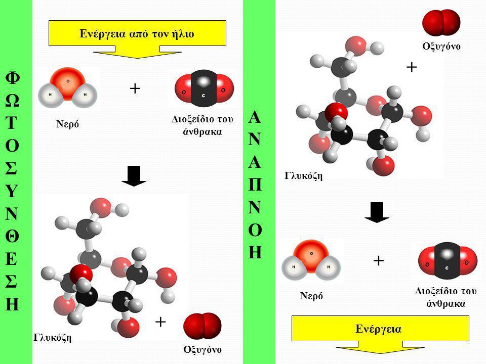 Γλυκόζη ΦΩΤΟΣΥΝΘΕΣΗΦΩΤΟΣΥΝΘΕΣΗ ΑΝΑΠΝΟΗΑΝΑΠΝΟΗ Νερό Διοξείδιο του άνθρακα + Ενέργεια από τον ήλιο Νερό Διοξείδιο του άνθρακα + Ενέργεια Γλυκόζη + Οξυγό