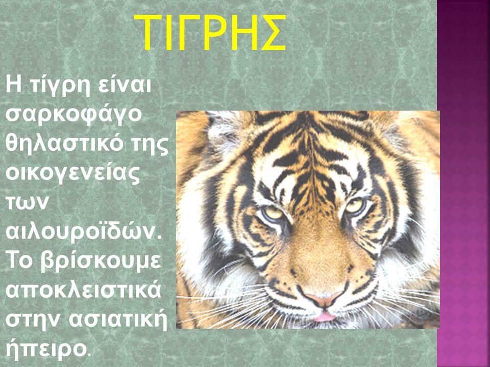 Η τίγρη είναι σαρκοφάγο θηλαστικό της οικογενείας των αιλουρoϊδών.