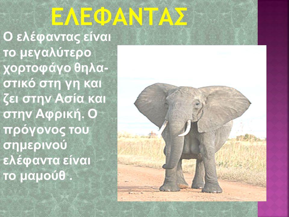 Ο ελέφαντας είναι το μεγαλύτερο χορτοφάγο θηλα- στικό στη γη και ζει στην Ασία και στην Αφρική.