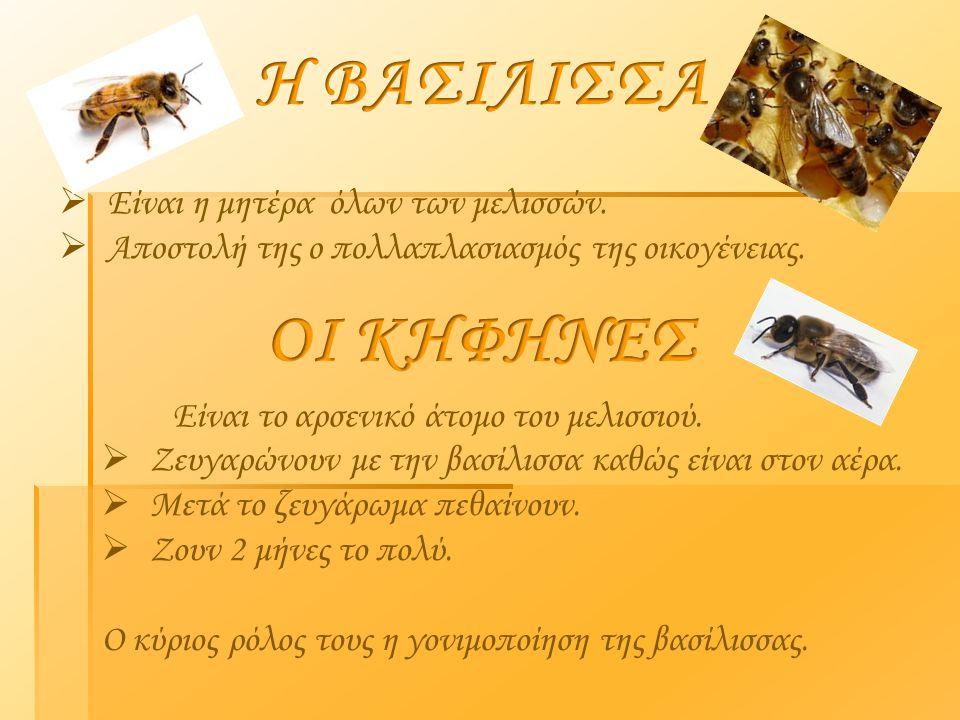  Είναι η μητέρα όλων των μελισσών.  Αποστολή της ο πολλαπλασιασμός της οικογένειας. Είναι το αρσενικό άτομο του μελισσιού.  Ζευγαρώνουν με την βασί