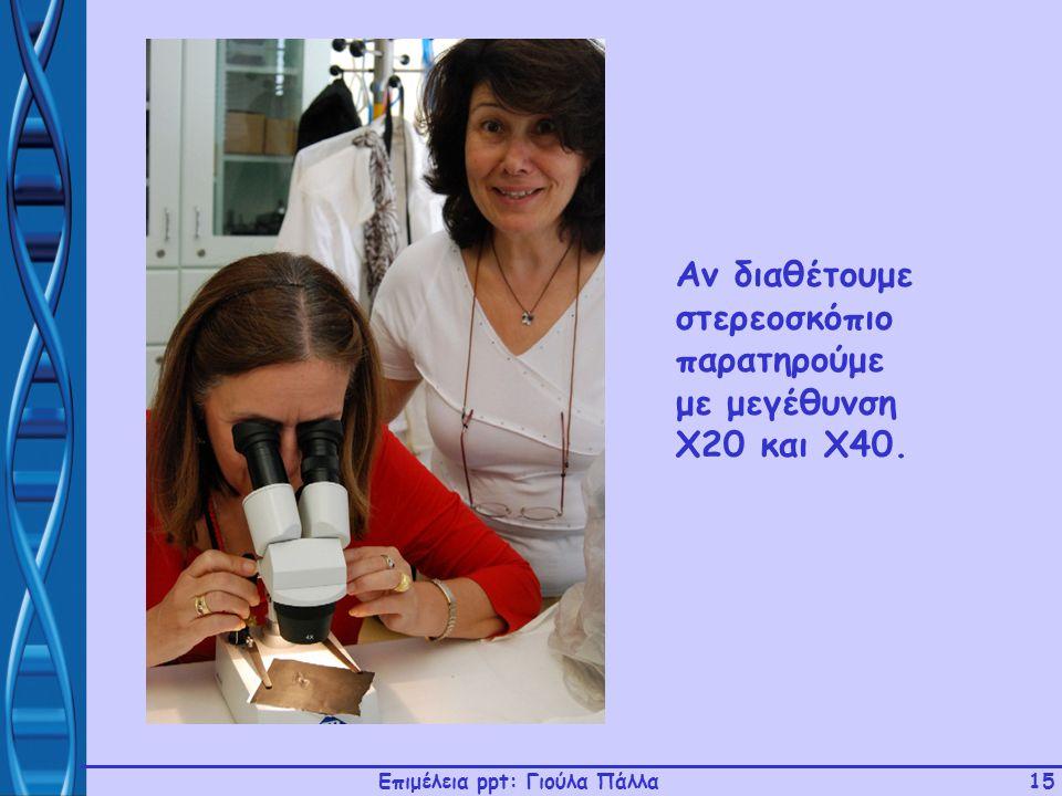 Επιμέλεια ppt: Γιούλα Πάλλα15 Αν διαθέτουμε στερεοσκόπιο παρατηρούμε με μεγέθυνση Χ20 και Χ40.
