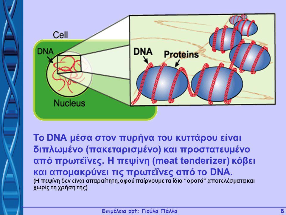 Επιμέλεια ppt: Γιούλα Πάλλα8 To DNA μέσα στον πυρήνα του κυττάρου είναι διπλωμένο (πακεταρισμένο) και προστατευμένο από πρωτεΐνες. Η πεψίνη (meat tend