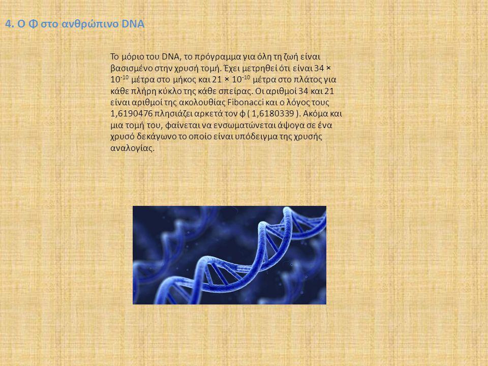 4. Ο Φ στο ανθρώπινο DNA Το μόριο του DNA, το πρόγραμμα για όλη τη ζωή είναι βασισμένο στην χρυσή τομή. Έχει μετρηθεί ότι είναι 34 × 10 -10 μέτρα στο