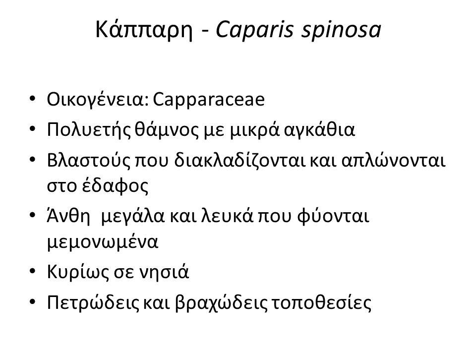 Κάππαρη - Caparis spinosa Οικογένεια: Capparaceae Πολυετής θάμνος με μικρά αγκάθια Βλαστούς που διακλαδίζονται και απλώνονται στο έδαφος Άνθη μεγάλα και λευκά που φύονται μεμονωμένα Κυρίως σε νησιά Πετρώδεις και βραχώδεις τοποθεσίες