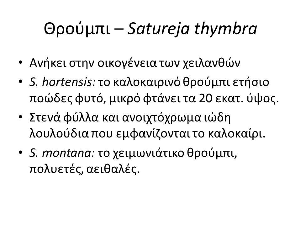 Θρούμπι – Satureja thymbra Ανήκει στην οικογένεια των χειλανθών S.