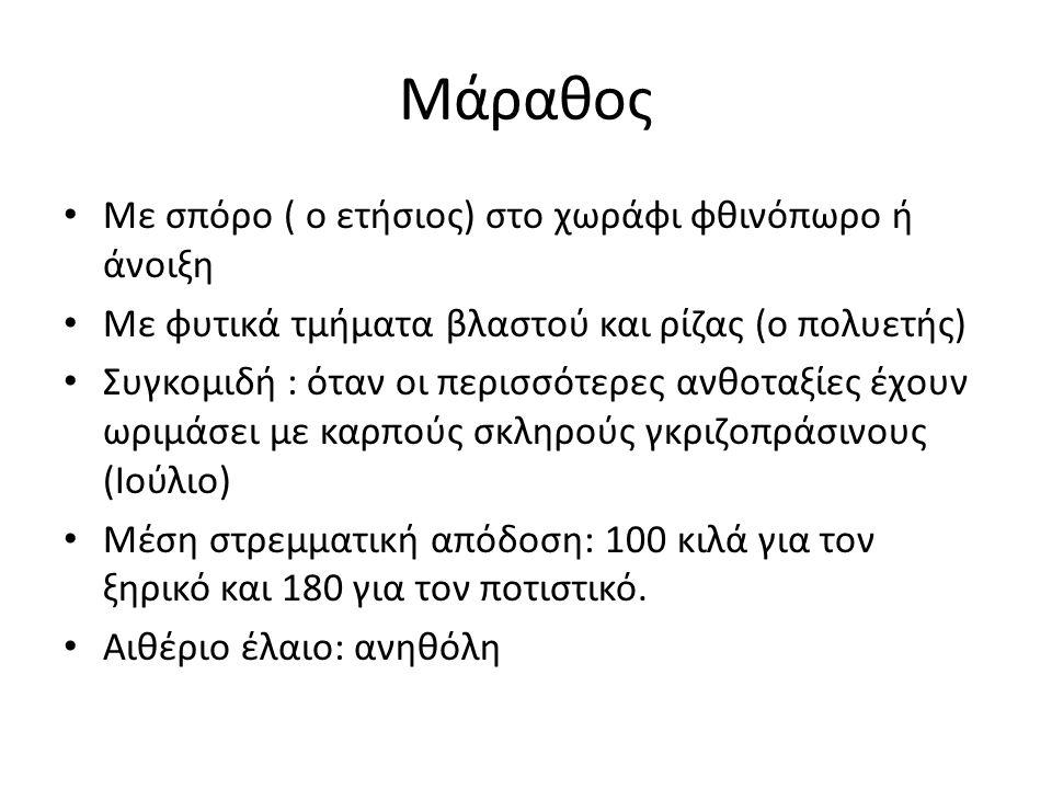 Μάραθος Με σπόρο ( ο ετήσιος) στο χωράφι φθινόπωρο ή άνοιξη Με φυτικά τμήματα βλαστού και ρίζας (ο πολυετής) Συγκομιδή : όταν οι περισσότερες ανθοταξίες έχουν ωριμάσει με καρπούς σκληρούς γκριζοπράσινους (Ιούλιο) Μέση στρεμματική απόδοση: 100 κιλά για τον ξηρικό και 180 για τον ποτιστικό.