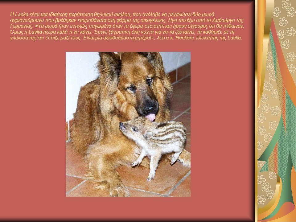 Η Laska είναι μια ιδιαίτερη περίπτωση θηλυκού σκύλου, που ανέλαβε να μεγαλώσει δύο μωρά αγριογούρουνα που βρέθηκαν ετοιμοθάνατα στη φάρμα της οικογένειας, λίγο πιο έξω από το Αμβούργο της Γερμανίας.