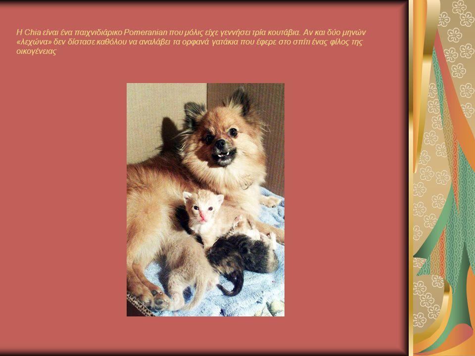 H Chia είναι ένα παιχνιδιάρικο Pomeranian που μόλις είχε γεννήσει τρία κουτάβια.