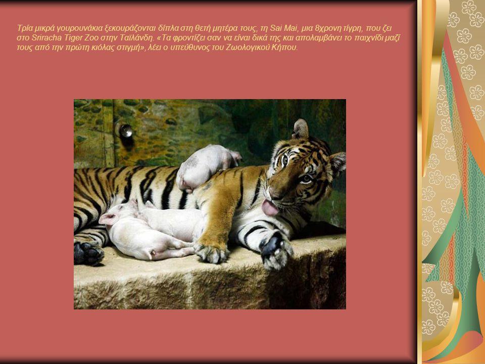 Τρία μικρά γουρουνάκια ξεκουράζονται δίπλα στη θετή μητέρα τους, τη Sai Mai, μια 8χρονη τίγρη, που ζει στο Sriracha Tiger Zoo στην Ταϊλάνδη.