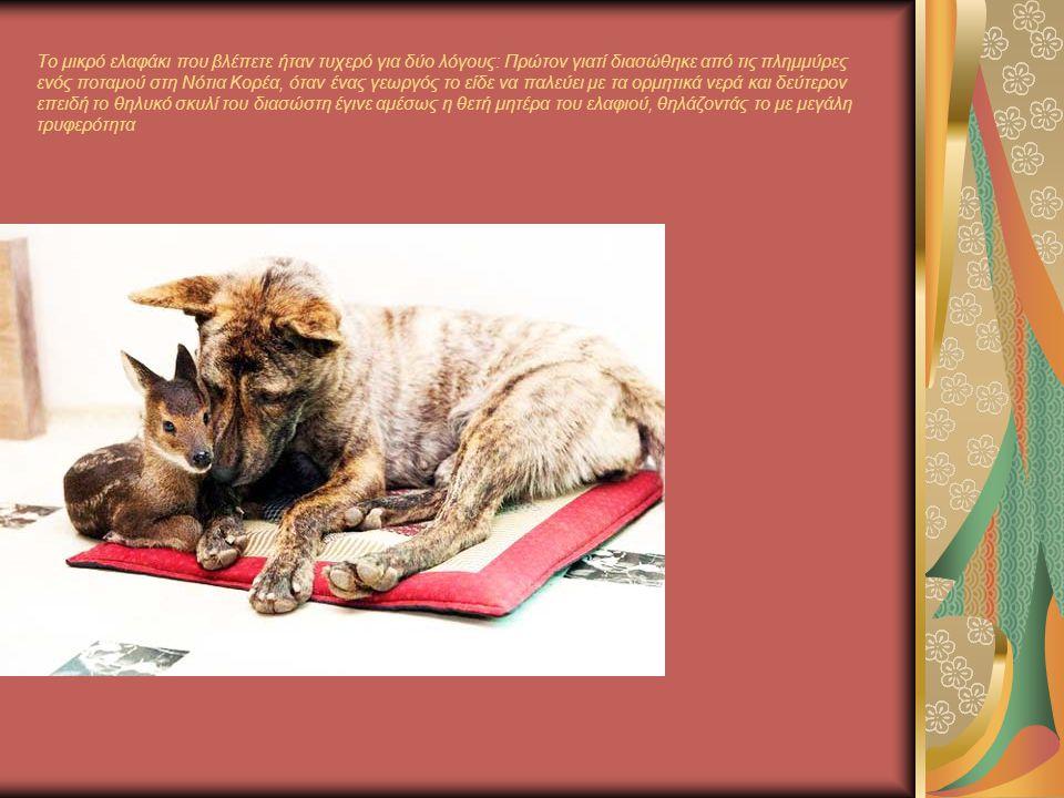 Το μικρό ελαφάκι που βλέπετε ήταν τυχερό για δύο λόγους: Πρώτον γιατί διασώθηκε από τις πλημμύρες ενός ποταμού στη Νότια Κορέα, όταν ένας γεωργός το είδε να παλεύει με τα ορμητικά νερά και δεύτερον επειδή το θηλυκό σκυλί του διασώστη έγινε αμέσως η θετή μητέρα του ελαφιού, θηλάζοντάς το με μεγάλη τρυφερότητα