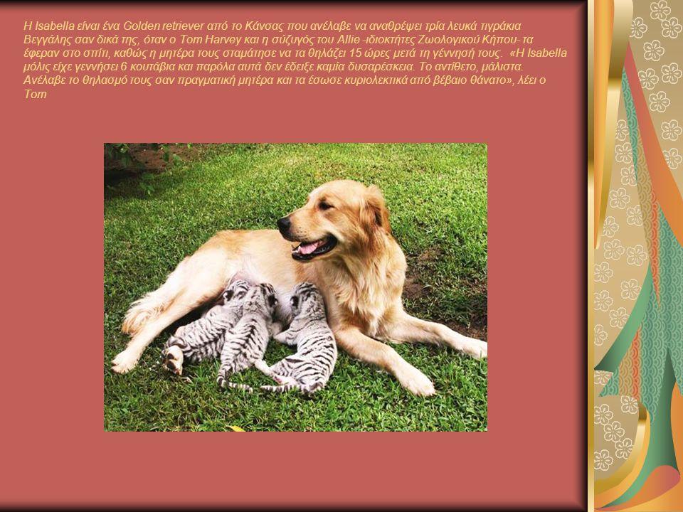 Η Isabella είναι ένα Golden retriever από το Κάνσας που ανέλαβε να αναθρέψει τρία λευκά τιγράκια Βεγγάλης σαν δικά της, όταν ο Tom Harvey και η σύζυγός του Allie -ιδιοκτήτες Ζωολογικού Κήπου- τα έφεραν στο σπίτι, καθώς η μητέρα τους σταμάτησε να τα θηλάζει 15 ώρες μετά τη γέννησή τους.