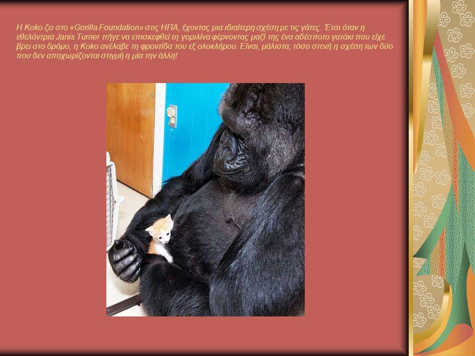 Η Koko ζει στο «Gorilla Foundation» στις ΗΠΑ, έχοντας μια ιδιαίτερη σχέση με τις γάτες.