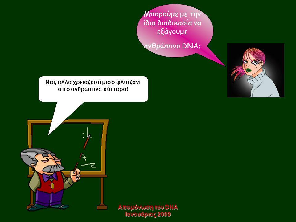 Απομόνωση του DNA Ιανουάριος 2009 Μπορούμε με την ίδια διαδικασία να εξάγουμε ανθρώπινο DNA; Ναι, αλλά χρειάζεται μισό φλυτζάνι από ανθρώπινα κύτταρα!