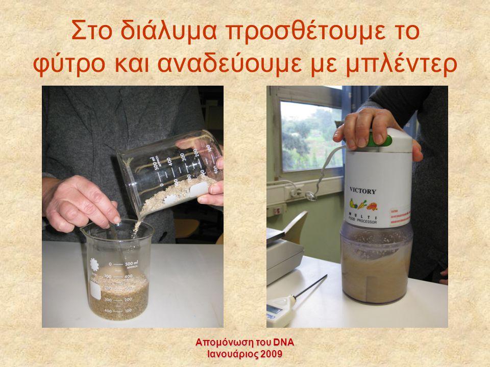Απομόνωση του DNA Ιανουάριος 2009 Στο διάλυμα προσθέτουμε το φύτρο και αναδεύουμε με μπλέντερ