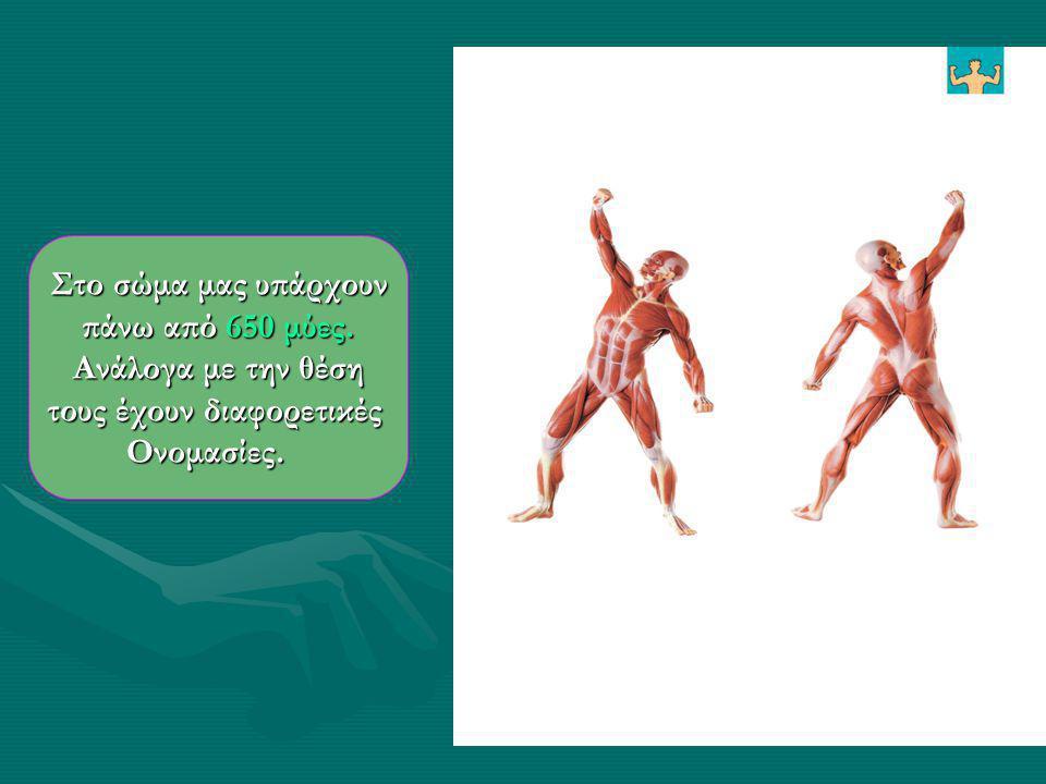 Το κεντρικό τμήμα ενός μυ ονομάζεται γαστέρα. Το κεντρικό τμήμα ενός μυ ονομάζεται γαστέρα. Η γαστέρα αποτελείται από τις μυϊκές δέσμες. Η γαστέρα απο
