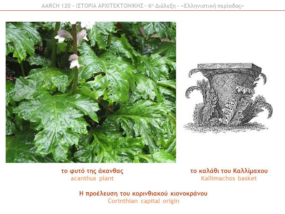 Η προέλευση του κορινθιακού κιονοκράνου Corinthian capital origin AARCH 120 – ΙΣΤΟΡΙΑ ΑΡΧΙΤΕΚΤΟΝΙΚΗΣ – 6 η Διάλεξη – «Ελληνιστική περίοδος» το φυτό τη
