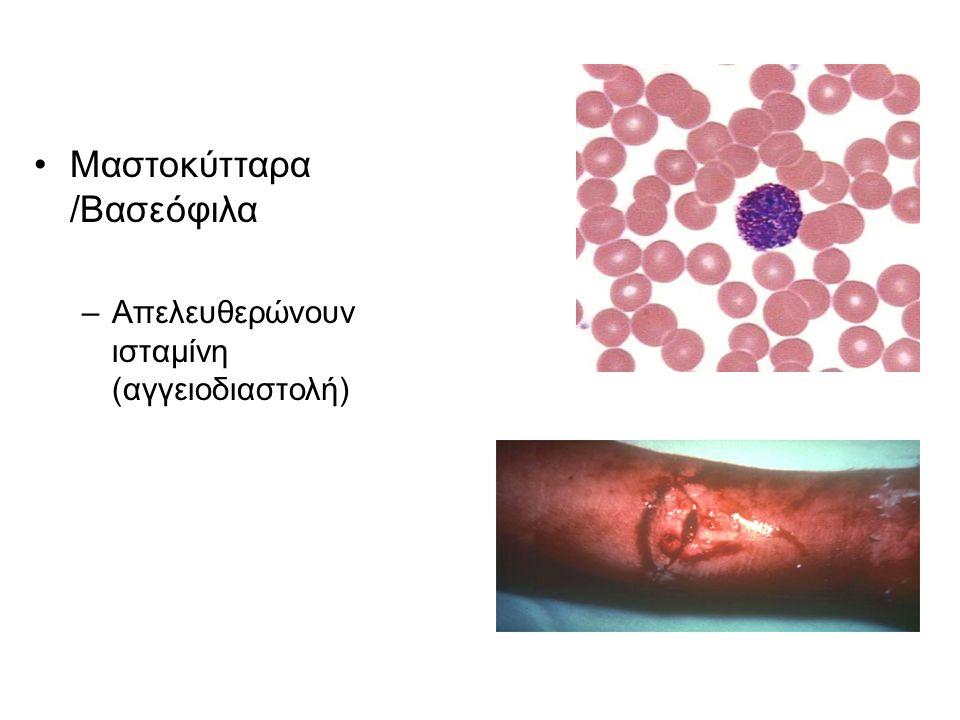 Μαστοκύτταρα /Βασεόφιλα –Απελευθερώνουν ισταμίνη (αγγειοδιαστολή)
