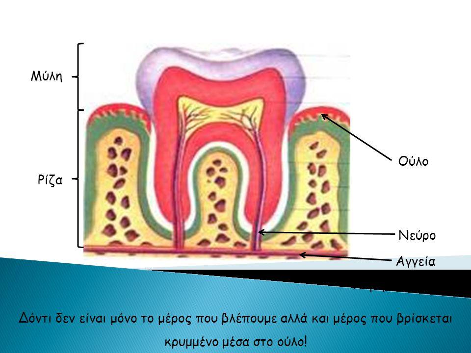 Τα μέρη του δοντιού Ούλο Νεύρο Αγγεία Μύλη Ρίζα Δόντι δεν είναι μόνο το μέρος που βλέπουμε αλλά και μέρος που βρίσκεται κρυμμένο μέσα στο ούλο!