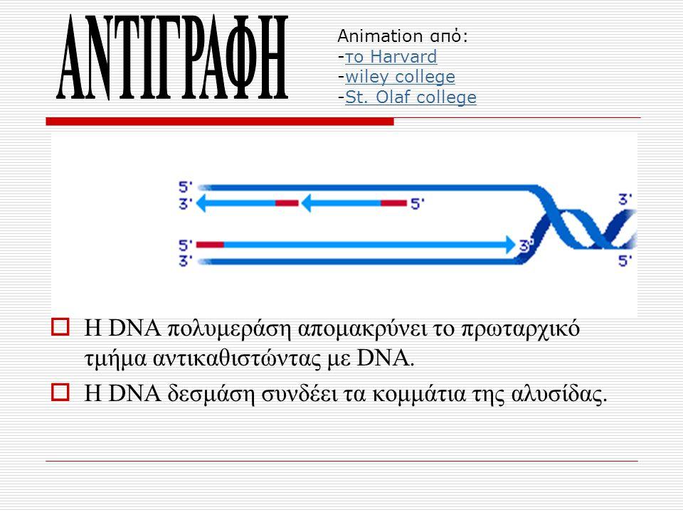  H DNA πολυμεράση απομακρύνει το πρωταρχικό τμήμα αντικαθιστώντας με DNA.  Η DNA δεσμάση συνδέει τα κομμάτια της αλυσίδας. Animation από: -το Harvar