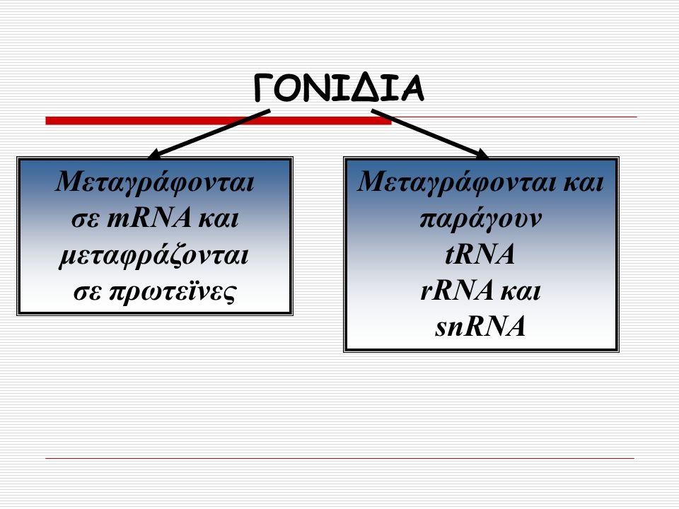 ΓΟΝΙΔΙΑ Μεταγράφονται σε mRNA και μεταφράζονται σε πρωτεϊνες Μεταγράφονται και παράγουν tRNA rRNA και snRNA