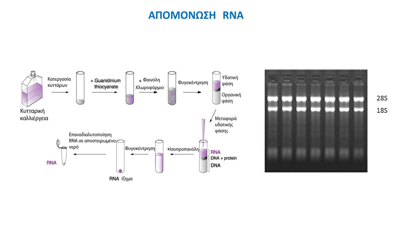 28S 18S ΑΠΟΜΟΝΩΣΗ RNA