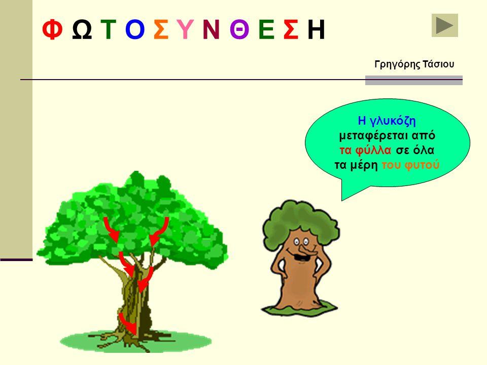 Η γλυκόζη μεταφέρεται από τα φύλλα σε όλα τα μέρη του φυτού Φ Ω Τ Ο Σ Υ Ν Θ Ε Σ Η Γρηγόρης Τάσιου