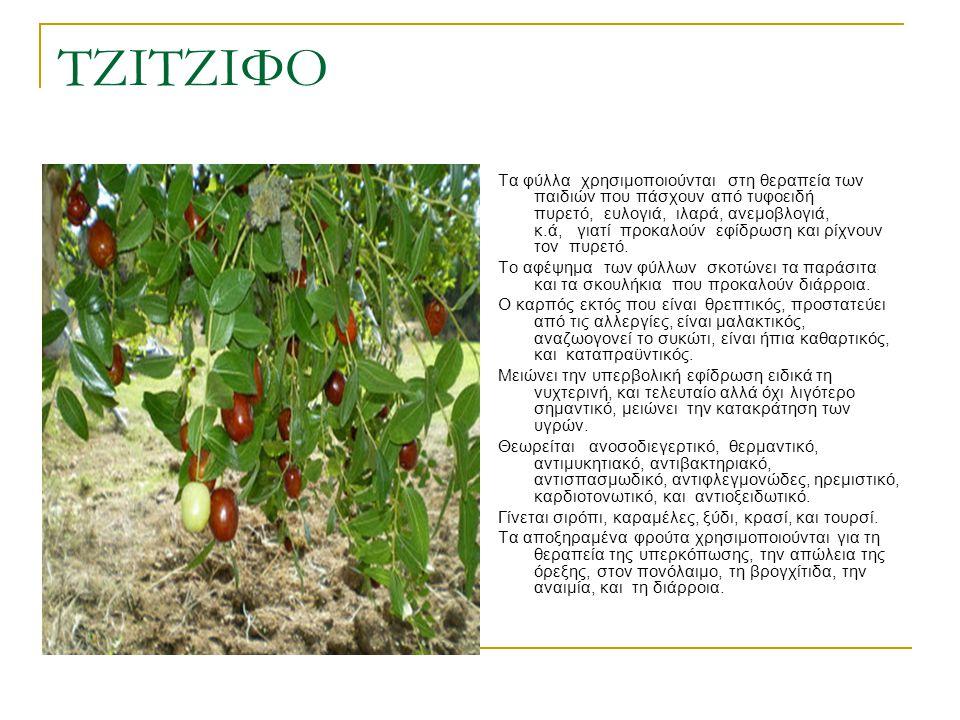 ΤΖΙΤΖΙΦΟ Τα φύλλα χρησιμοποιούνται στη θεραπεία των παιδιών που πάσχουν από τυφοειδή πυρετό, ευλογιά, ιλαρά, ανεμοβλογιά, κ.ά, γιατί προκαλούν εφίδρωσ
