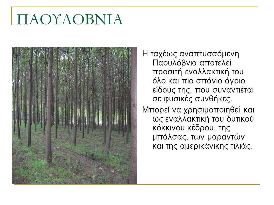 ΠΑΟΥΛΟΒΝΙΑ Η ταχέως αναπτυσσόμενη Παουλόβνια αποτελεί προσιτή εναλλακτική του όλο και πιο σπάνιο άγριο είδους της, που συναντιέται σε φυσικές συνθήκες