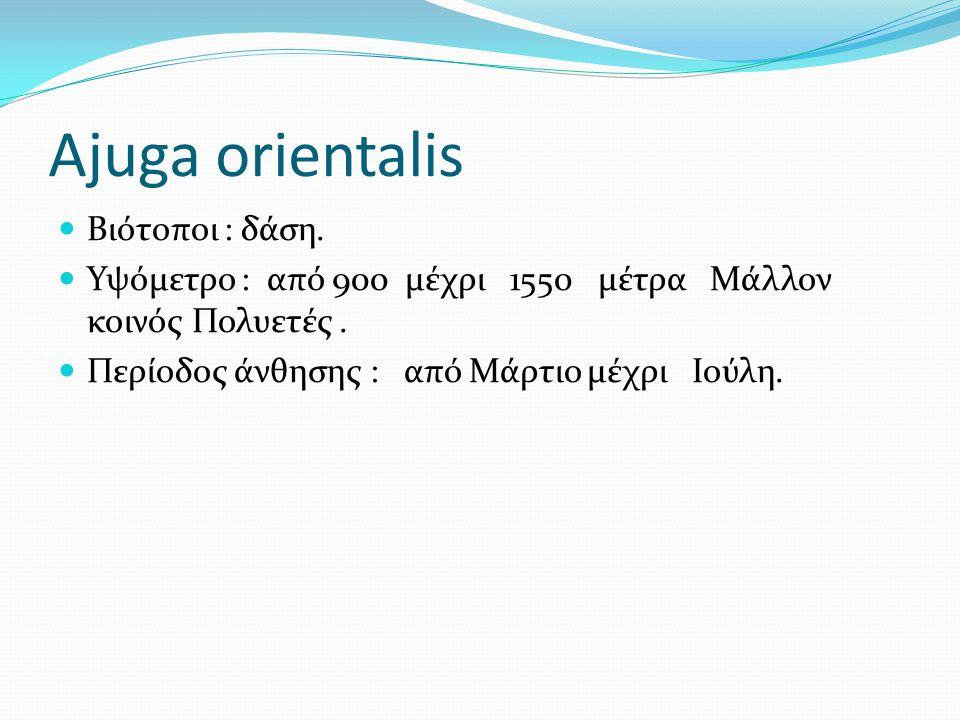 Ajuga orientalis Βιότοποι : δάση. Υψόμετρο : από 900 μέχρι 1550 μέτρα Μάλλον κοινός Πολυετές. Περίοδος άνθησης : από Μάρτιο μέχρι Ιούλη.