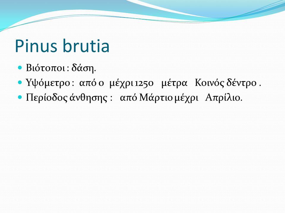 Pinus brutia Βιότοποι : δάση. Υψόμετρο : από 0 μέχρι 1250 μέτρα Κοινός δέντρο. Περίοδος άνθησης : από Μάρτιο μέχρι Απρίλιο.