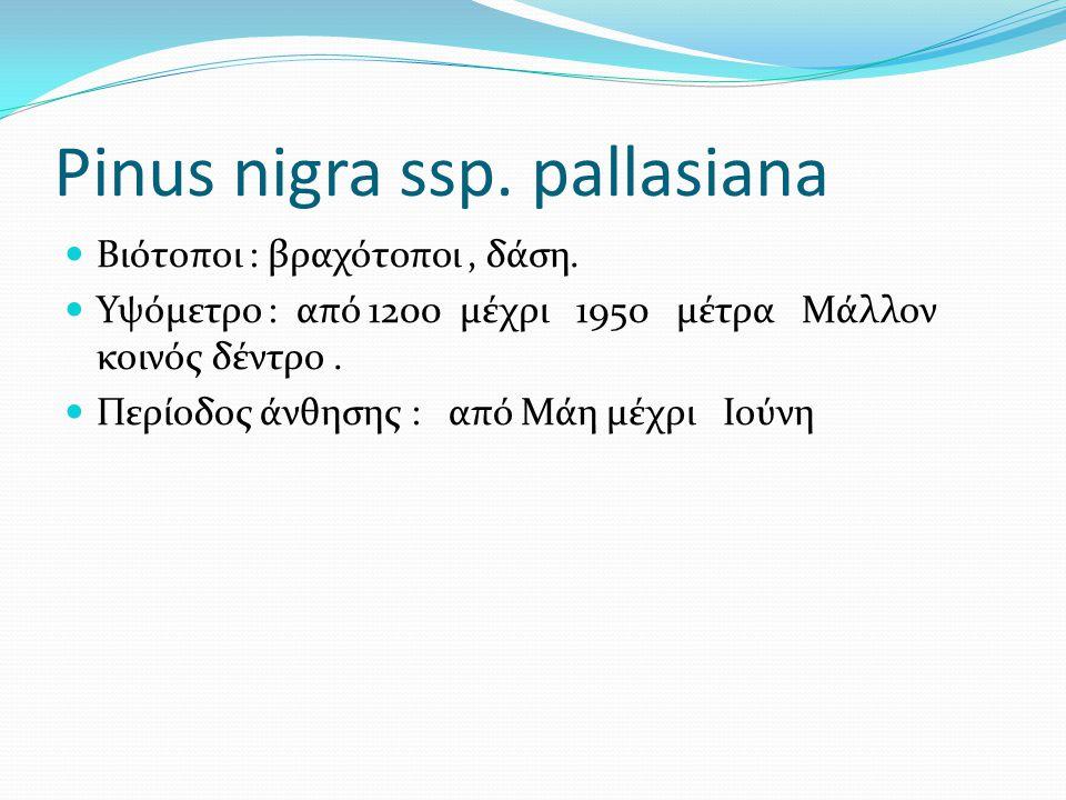 Pinus nigra ssp. pallasiana Βιότοποι : βραχότοποι, δάση. Υψόμετρο : από 1200 μέχρι 1950 μέτρα Μάλλον κοινός δέντρο. Περίοδος άνθησης : από Μάη μέχρι Ι
