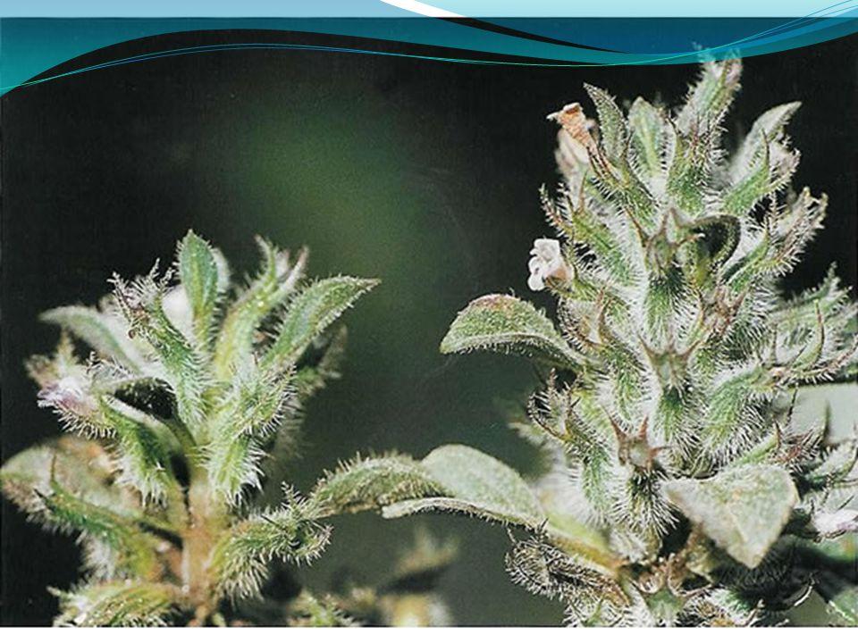 Ceratonia siliqua Βιότοποι : καλλιέργειες, θαμνώνες.