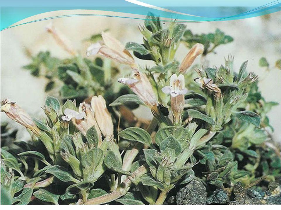 Cupressus sempervirens Βιότοποι : καλλιέργειες, θάλασσα και παράλια.