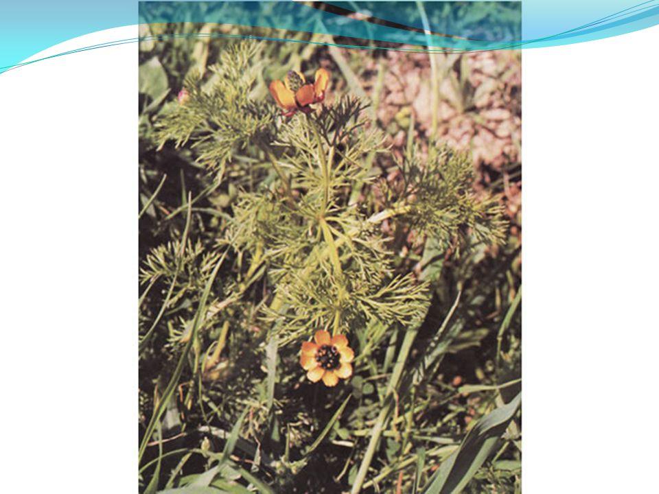 Cyclamen cyprium Βιότοποι : βραχότοποι, λίμνες, ρυάκια, έλη, δάση.
