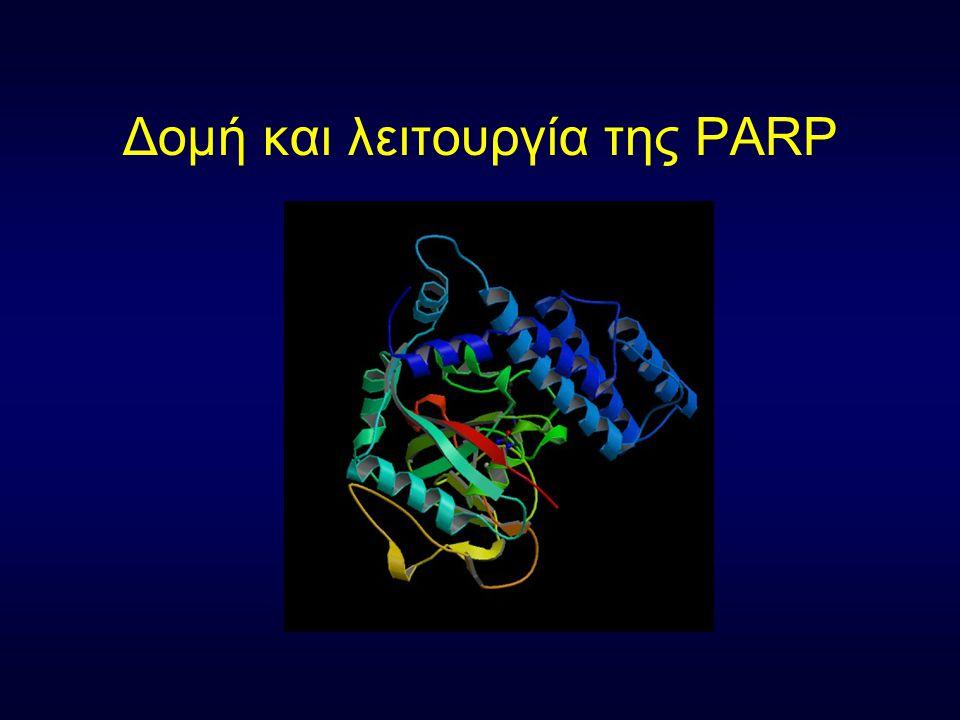 Δομή και λειτουργία της PARP.