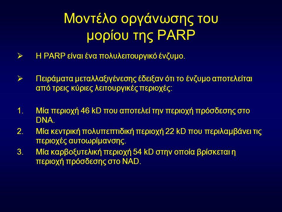 Μοντέλο οργάνωσης του μορίου της PARP  Η PARP είναι ένα πολυλειτουργικό ένζυμο.  Πειράματα μεταλλαξιγένεσης έδειξαν ότι το ένζυμο αποτελείται από τρ