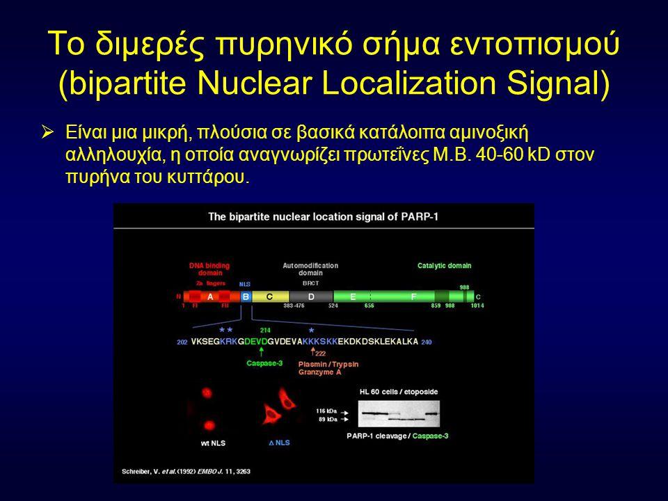 Το διμερές πυρηνικό σήμα εντοπισμού (bipartite Nuclear Localization Signal)  Είναι μια μικρή, πλούσια σε βασικά κατάλοιπα αμινοξική αλληλουχία, η οπο