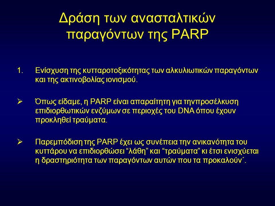 Δράση των ανασταλτικών παραγόντων της PARP 1.Ενίσχυση της κυτταροτοξικότητας των αλκυλιωτικών παραγόντων και της ακτινοβολίας ιονισμού.  Όπως είδαμε,