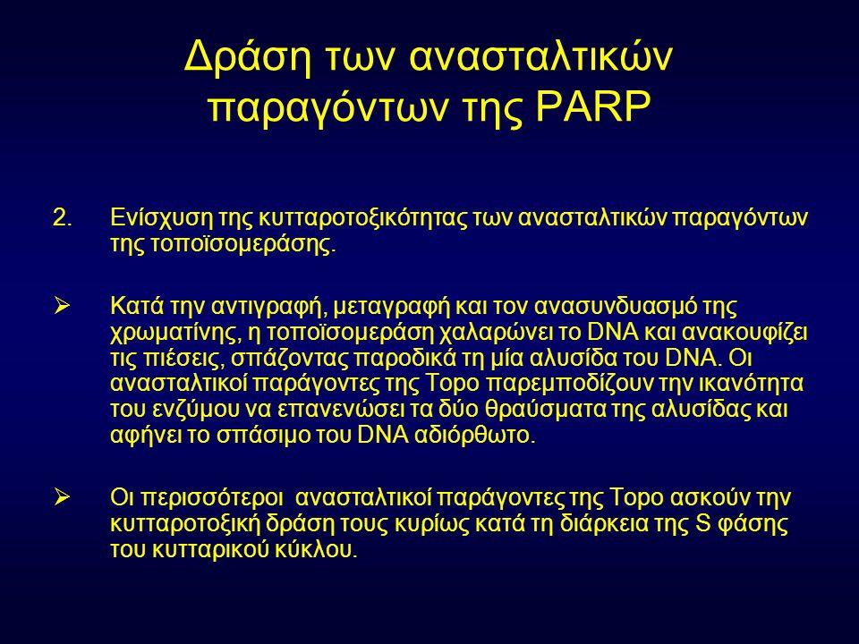 Δράση των ανασταλτικών παραγόντων της PARP 2.Ενίσχυση της κυτταροτοξικότητας των ανασταλτικών παραγόντων της τοποϊσομεράσης.  Κατά την αντιγραφή, μετ