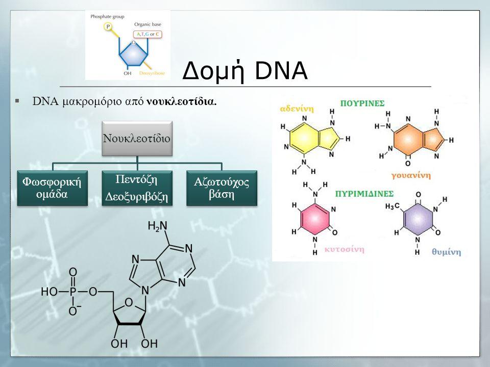 Δομή DNA  DNA μακρομόριο από νουκλεοτίδια. Νουκλεοτίδιο Φωσφορική ομάδα Πεντόζη Δεοξυριβόζη Αζωτούχος βάση