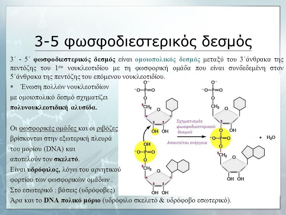 3-5 φωσφοδιεστερικός δεσμός 3΄ - 5΄ φωσφοδιεστερικός δεσμός είναι ομοιοπολικός δεσμός μεταξύ του 3΄άνθρακα της πεντόζης του 1 ου νουκλεοτιδίου με τη φωσφορική ομάδα που είναι συνδεδεμένη στον 5΄άνθρακα της πεντόζης του επόμενου νουκλεοτιδίου.