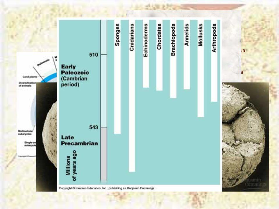 Η «παράσταση» της ζωής Οι ευκαρυωτικοί οργανισμοί εμφανίζονται πριν 2,1 Βya Οι πολυκύτταροι οργανισμοί εμφανίζονται πριν 1,2 Βya Τα ζώα διαφοροποιούντ