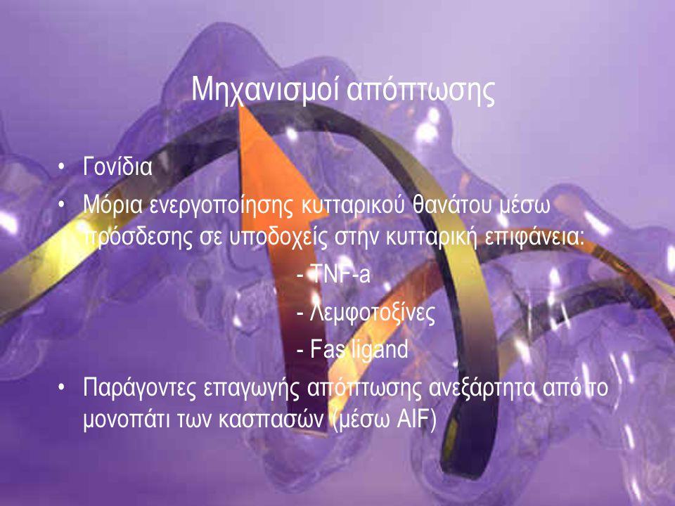 Γονιδιακή ρύθμιση απόπτωσης Πρωτο-ογκογονίδια : αύξηση κ' διαίρεση Ογκογονίδια: -υπερβολική αύξηση ενεργότητας τους, υπερπαραγωγή πρωτεϊνών που κωδικοποιούν - επικρατή (100), μετασχηματισμός παρουσία φυσιολογικού αλληλόμορφου Ογκοκατασταλτικά : καταστολή λειτουργιών - Αναστολή κυτταρικού πολ/σμού