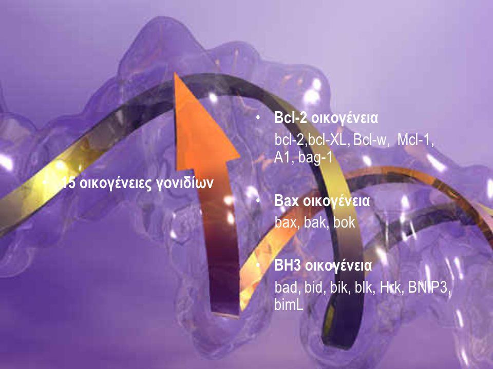 BAX Κωδικοποιεί προαποπτωτική πρωτείνη 21 Kd Σχηματίζει Bax/Bax ομοδιμερή ή Bcl-2/Bax ετεροδιμερή Ομολογία με τη Bcl-2 σε δυο συντηρημένες περιοχές τις BH1, BH2 Βρίσκεται στο κυτταρόπλασμα και σε περιφερειακή σύνδεση με ενδοκυττάριες μεμβράνες, όπως η μεμβράνη του μιτοχονδρίου