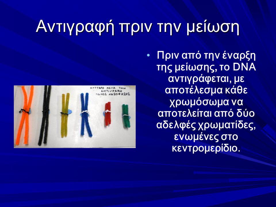 Αντιγραφή πριν την μείωση Πριν από την έναρξη της μείωσης, το DNA αντιγράφεται, με αποτέλεσμα κάθε χρωμόσωμα να αποτελείται από δύο αδελφές χρωματίδες