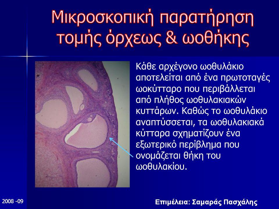 Επιμέλεια: Σαμαράς Πασχάλης 2008 -09 Κάθε αρχέγονο ωοθυλάκιο αποτελείται από ένα πρωτοταγές ωοκύτταρο που περιβάλλεται από πλήθος ωοθυλακιακών κυττάρων.