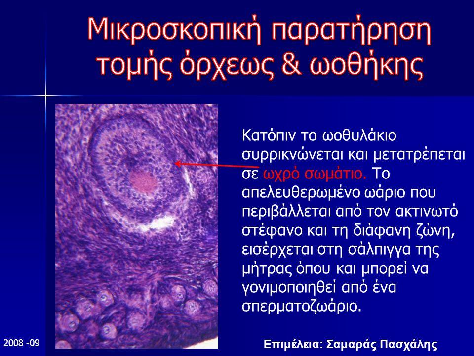 Επιμέλεια: Σαμαράς Πασχάλης 2008 -09 Κατόπιν το ωοθυλάκιο συρρικνώνεται και μετατρέπεται σε ωχρό σωμάτιο.